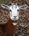 Mhorr Gazelle Close Up 3.jpg