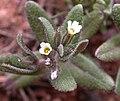 Microsteris gracilis 2005-04-02.jpg