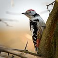 Middle spotted woodpecker (25883703381).jpg