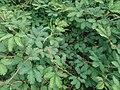 Mimosa pudica (Fabaceae) 03.jpg