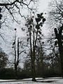 Mistletoe in Bushy Park, Chestnut Ave.JPG