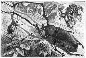 "Kayoa - ""Moluccan Beetles"""