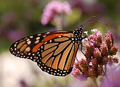 Monarch Butterfly Danaus plexippus Proboscis 2591px.jpg