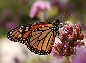 Monarch Butterfly Danaus plexippus Proboscis 2...
