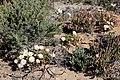 Monilaria moniliformis (Aizoaceae) (37368129652).jpg