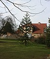 Monkey Puzzle tree, Bradbourne Lakes - geograph.org.uk - 1720105.jpg
