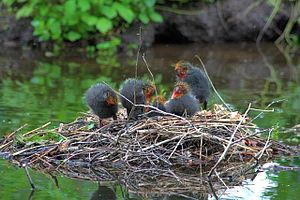English: Moorhen Nest and Chicks On the Serpen...