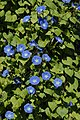 Morning glories (322330675).jpg