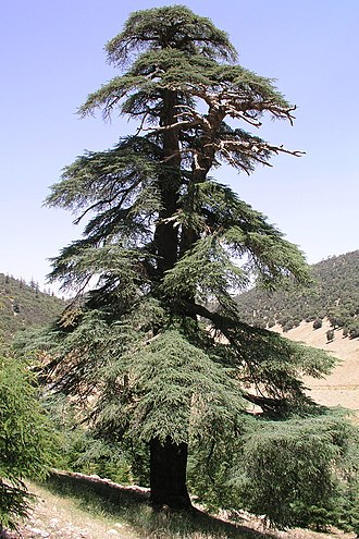 Cedrus - A cedar in the Moroccan Atlas