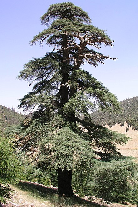 An old Cedrus atlantica tree in the Atlas range Morocco Atlas 01.jpg