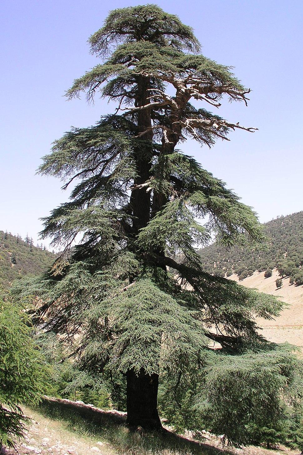Moroccan Atlantic cedar