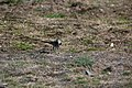 Motacilla alba (28946790202).jpg