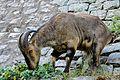 Mountain Goat, Tamilnadu.jpg