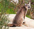 Mountain lion (Puma concolor) family group (14209025856) (cropped).jpg