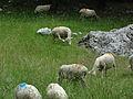 Moutons à Entrepierre-3.JPG