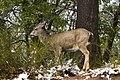 Mule Deer (3769582265).jpg