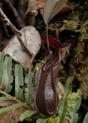Nepenthes muluensis - A lower pitcher