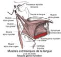 Muscle génio-hyoïdien1.png