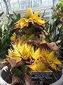 Musella lasiocarpa - golden lotus banana - desc-in flower.jpg