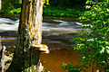 Mushrooms on tree beside River.jpg