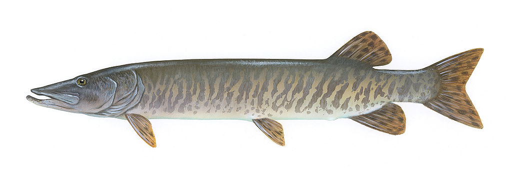 Angler support strong for pike muskie reg changes the for Michigan fish size limits