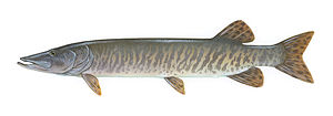 Muskellunge - Illustration of a Muskellunge