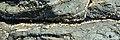 Mussels (Mytilida) and Barnacles (Cirripedia) - Crow Head, Newfoundland 2019-08-15.jpg