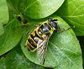 Myathropa florea. Eristalini - Flickr - gailhampshire.jpg