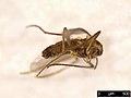 Mycetophilidae sp. (37961270576).jpg