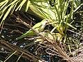 Myiopsitta monachus -Florida -USA-8.jpg