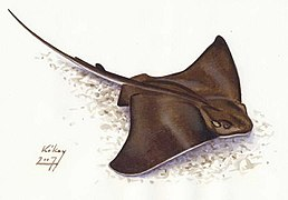 Myliobatis aquila sasrája