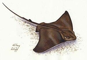 Batoidea - Image: Myliobatis aquila sasrája