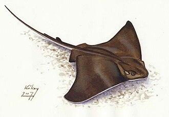 Chondrichthyes - Image: Myliobatis aquila sasrája