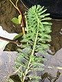 Myriophyllum aquaticum 59381666.jpg