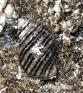 <i>Nucella ostrina</i> species of mollusc