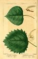 NAS-099f Populus tremuloides & grandidentata.png