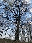 ND0906-9 Hohenbocka Quercus Robur.jpg