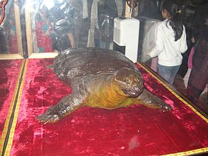 Hoan Kiem turtle - A preserved turtle on display in the Temple of the Jade Mountain