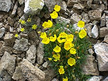 a small plant with four-petaled yellow flowers and finely cut leaves grows among pebbles