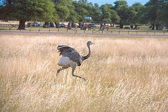 Rhea (bird) - A rhea at the Parque Luro, Argentina
