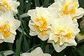 Narcissus Gay Kybo 0zz.jpg