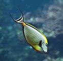 Naso elegans Oceanopolis.jpg