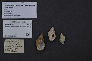 <i>Agnewia</i> genus of molluscs
