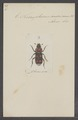 Necrophorus - Print - Iconographia Zoologica - Special Collections University of Amsterdam - UBAINV0274 016 02 0004.tif