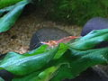 Neocaridina denticulata sinensis IMG 0165 Red Cherry.jpg