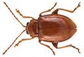 Neocrepidodera impressa peregrina (Harold, 1875) (16456662336).png