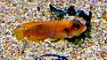 Neolamprologus ocellatus gold - Aqua Porte doree 06.JPG