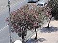 Nerium Oleander in Catanzaro - panoramio (1).jpg