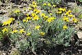 Nestotus stenophyllus (Narrowleaf Goldenweed) - Flickr - brewbooks.jpg