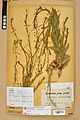 Neuchâtel Herbarium - Camelina microcarpa - NEU000022958.jpg